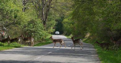 Vorsicht Wildunfall: Rehe überqueren die Straße